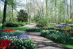 Фотография Нидерланды Весенние Парки Нарциссы Дизайн Кусты Keukenhof