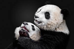 Фото Панды Детеныши Двое Животные