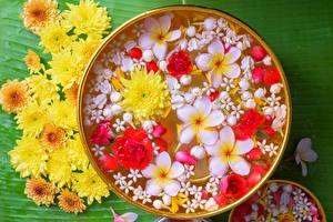 Обои Плюмерия Хризантемы Цветы картинки