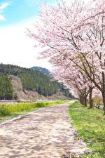 Фото Весна Цветущие деревья Дороги Горы Природа