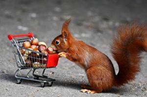 Фотография Белки Орехи Лесной орех Покупки Животные