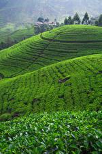 Картинка Шри-Ланка Поля Холм Nuwara Eliya Природа