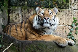 Фотография Тигры Взгляд Лапы Животные
