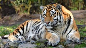 Обои Тигры Смотрит Лапы