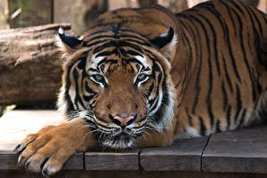 Обои Тигр Смотрят Лап Животные