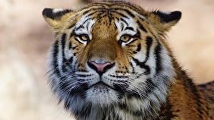 Картинка Тигры Морды Смотрит