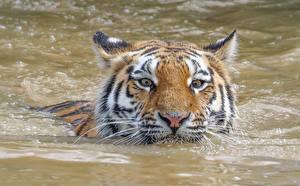 Фото Тигры Вода Голова Взгляд Плывущий Животные