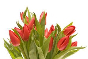 Картинки Тюльпаны Вблизи Белый фон Красный Цветы