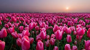 Обои Тюльпаны Поля Розовый Цветы