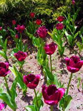 Картинка Тюльпаны Бордовый Цветы