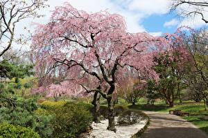 Обои США Парки Цветущие деревья Весна Кусты Missouri Botanical Garden Природа картинки