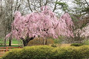 Картинки Штаты Парки Весенние Цветущие деревья Missouri Botanical Garden Природа