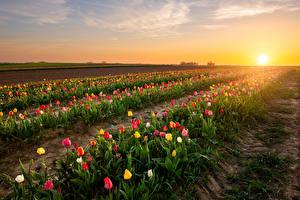 Картинка Бельгия Рассветы и закаты Поля Тюльпаны