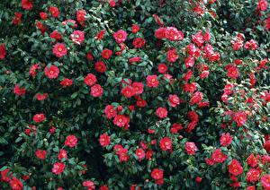 Картинки Камелия Много Розовый Цветы