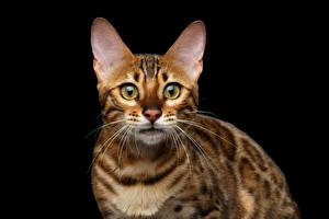 Фотографии Кошка Бенгальская кошка Черный фон Смотрит