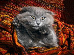 Фото Кошка Морды Смотрят Серый Смешные животное