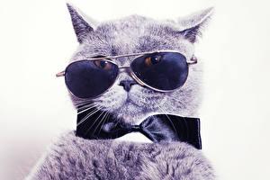 Картинки Коты Белый фон Очки Морда Бантик Животные