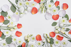 Картинки Хризантемы Эустома Белый фон Лепестки