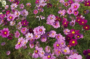 Фото Космея Много Цветы