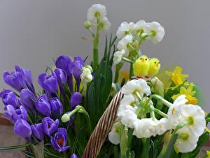 Обои Шафран Нарциссы Птенец Цветы