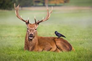 Фотография Олени Вороны Рога Животные