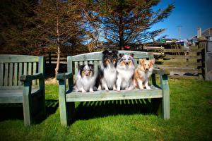 Фото Собака Скамейка Колли Сидит Животные