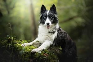Картинки Собаки Бордер-колли Смотрит Мох