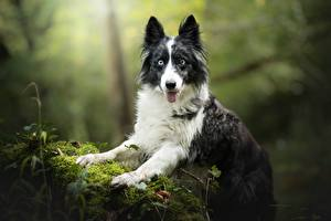 Картинки Собаки Бордер-колли Смотрит Мох Животные