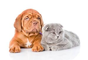 Картинки Собака Коты Белом фоне Два Бордоский дог Животные