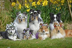 Картинка Собаки Колли Смотрит Животные