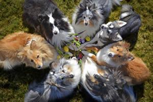 Фото Собаки Колли Смотрит Животные