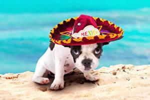 Фото Собаки Французский бульдог Щенок Шляпа Животные
