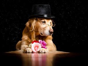 Картинки Собаки Голден Розы Очки Шляпа Животные