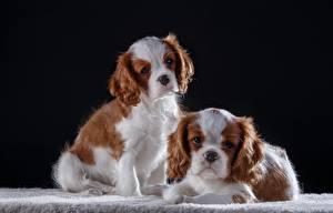 Фотографии Собаки Кинг чарльз спаниель 2 животное