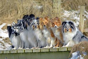 Фотография Собаки Много Колли Животные