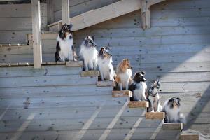 Фото Собаки Много Колли Лестница Животные