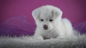 Фотографии Собаки Щенок Белый Акита-ину