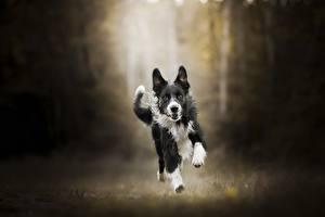 Фотографии Собаки Бег Бордер-колли