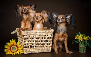 Фотография Собаки Подсолнечник Трое 3 Русский той терьер Корзина Животные