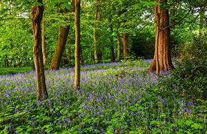 Фото Англия Парки Весна Деревья Колокольчики Природа