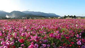 Фото Поля Космея Много Цветы