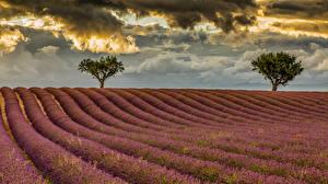 Фото Поля Лаванда Деревья Облака Природа