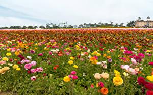 Фотографии Поля Лютик Много Цветы