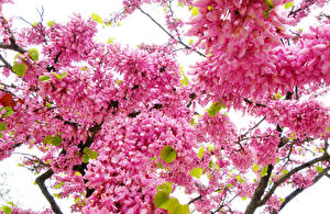 Фотография Цветущие деревья Ветвь Розовый Цветы