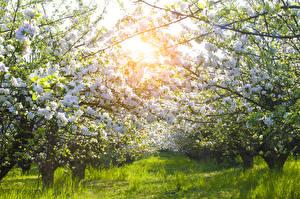 Картинка Сады Весенние Цветущие деревья Трава Ветвь Природа