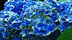 Картинка Гортензия Крупным планом Синий Цветы