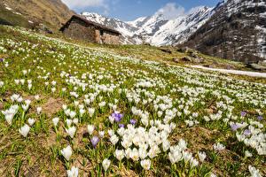 Картинки Италия Горы Весенние Шафран Альпы Lombardia Природа Цветы