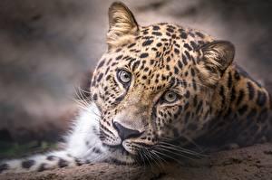 Обои Леопарды Смотрит Морда Животные