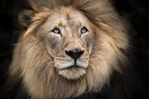 Картинка Львы Морда Смотрит Черный фон Животные