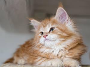 Картинка Мейн-кун Кошки Котята Пушистый